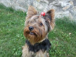 Nelly, Yorkshire terrier