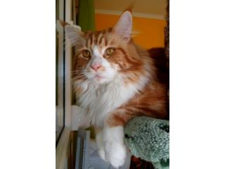 Charmant Chatte Ramses, Maine Coon