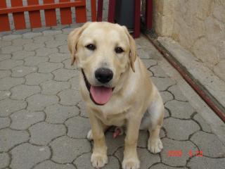 Jackie, Labrador retriever